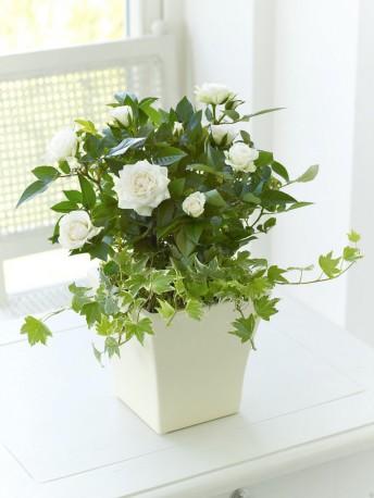 Classic Cream Rose Planter