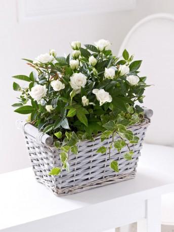 Cream Rose Sympathy Basket