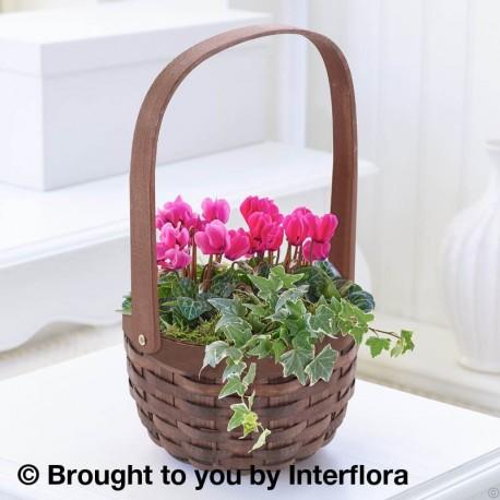 Pink Cyclamen Basket