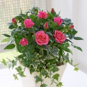 Classic Pink Rose Planter