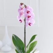 Happy Birthday Phalaenopsis Orchid
